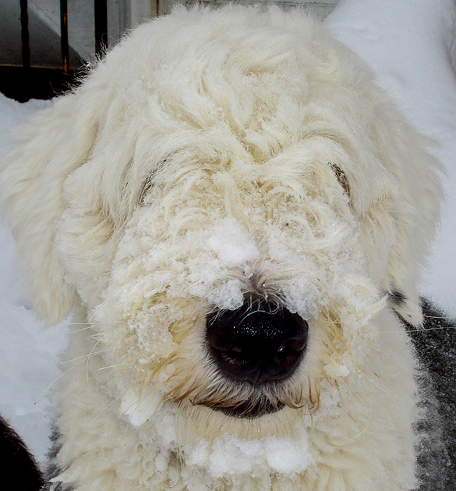 Bristow, one of our Old English Sheepdogs, after playing in the snow.